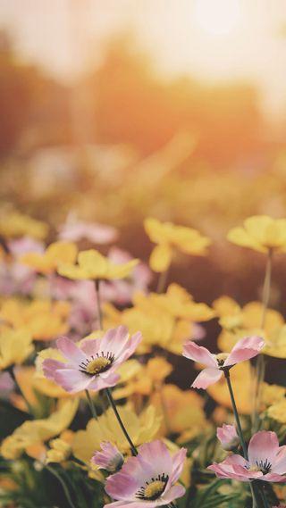 Обои на телефон маргаритка, цветы, поле, flower field