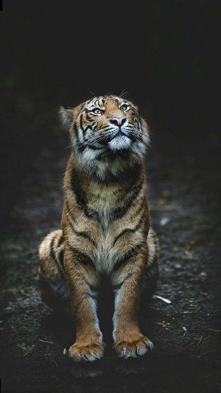 Обои на телефон сидя, дикие, тигр, животные