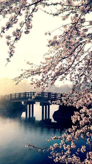 Обои на телефон сакура, цветы, пейзаж