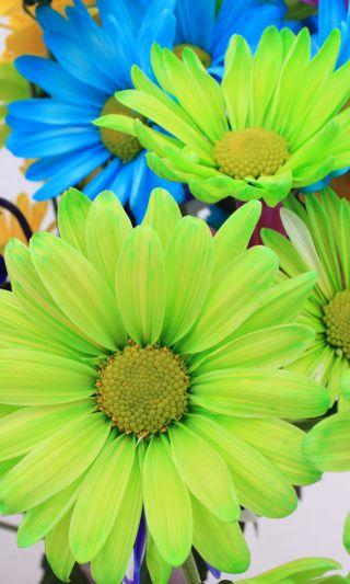 Обои на телефон маргаритка, цветы, цветные, синие, ромашки, природа, зеленые, colored daisies 1