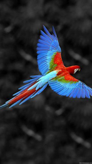 Обои на телефон попугай, синие, птицы, полет, перья, красые, красочные