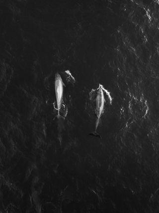 Обои на телефон черно белые, природа, пара, животные, дельфины, dolphin couple