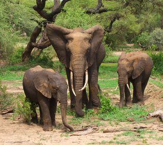 Обои на телефон слоны, слон, семья, животные, африка, herd, elephant pack