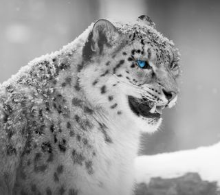 Обои на телефон леопард, снег, кошки, животные