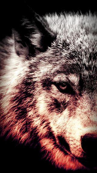Обои на телефон дикие, волк