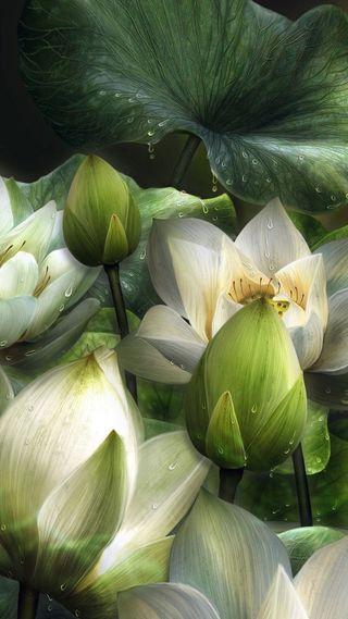 Обои на телефон лотус, цветы, природа, покинуть, капли, вода, белые, 3д, 3d