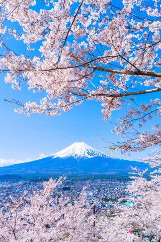 Обои на телефон сакура, японские, природа, прекрасные