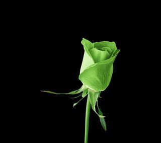 Обои на телефон подарок, темные, розы, природа, одиночество, ночь, любовь, красота, зеленые, love