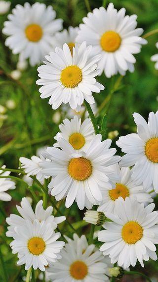 Обои на телефон маргаритка, цветы, цветные, фото, природа, пейзаж