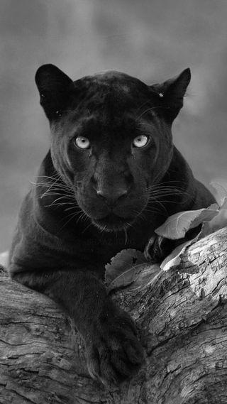 Обои на телефон пантера, черные, пума, кошки, puma, panthers, big