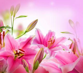Обои на телефон свежие, цветы, цветочные, фон, розовые, лилии, floral background
