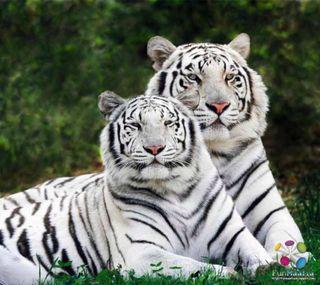 Обои на телефон полосы, черные, тигр, дикие, белые, pair