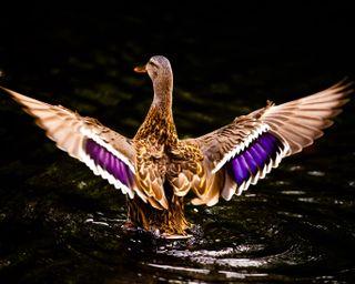 Обои на телефон утка, летать, птицы, озеро, лебедь, крылья, красочные, животные, colorful duck
