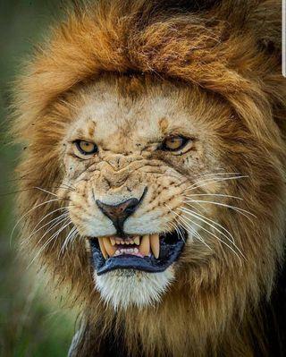 Обои на телефон лев, король