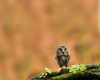 Обои на телефон маленький, сова, птицы, little owl hd, babyowl