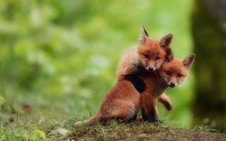 Обои на телефон лиса, природа, животные, foxes