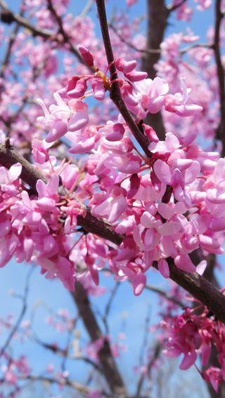 Обои на телефон вишня, цветы, цвести, прекрасные, дерево, весна, outdoor, cherry tree, cherry blossom