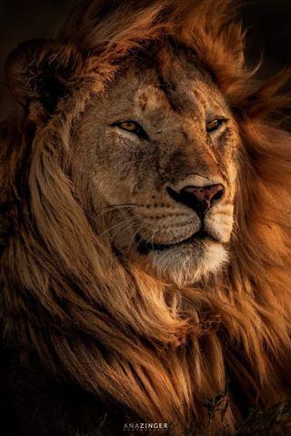 Обои на телефон дикие, лицо, леон, лев, король, животные, взгляд