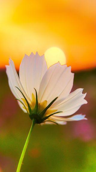 Обои на телефон солнце, цветы