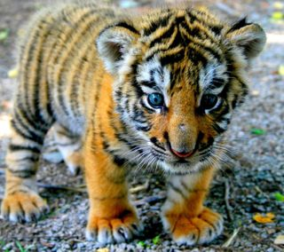 Обои на телефон тигр, милые, hehe, ererh, cute tiger