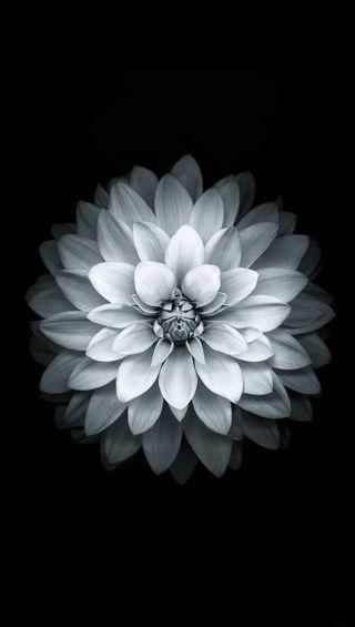 Обои на телефон лотус, белые, white lotus, fgs, dhf