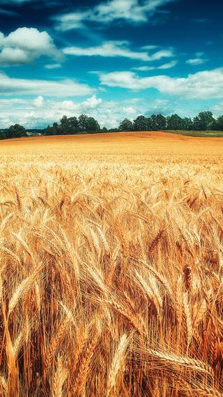 Обои на телефон пшеница, природа, поле, облака, небо, hd, 1080p