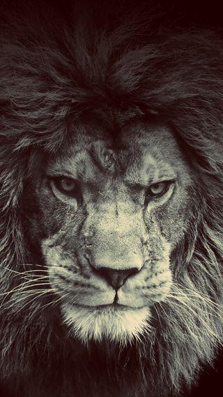 Обои на телефон злые, лев