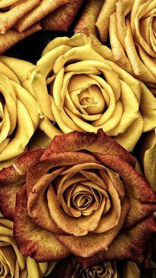 Обои на телефон розы, rose gialle, icio