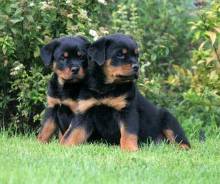 Обои на телефон щенки, милые, rottweiler