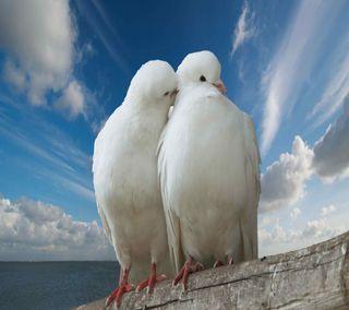 Обои на телефон вместе, птицы, поцелуй, навсегда, любовь, pigeon love, pigeon, love