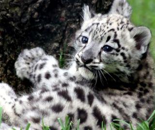 Обои на телефон леопард, малыш, животные, cub