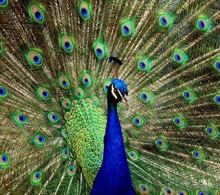 Обои на телефон павлин, птицы, природа, милые, peacock hd, hd