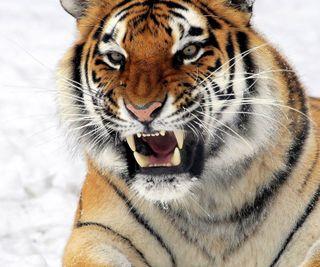 Обои на телефон естественные, тигр, снег, природа, животные, tiger hd, fierce