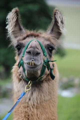 Обои на телефон лошади, стиль, осел, лошадь, животные, дикие, гоночные, lama, donkeys