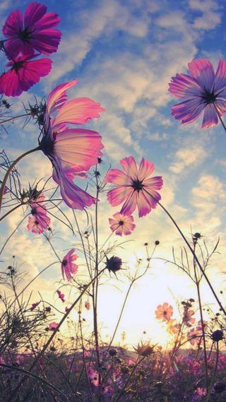 Обои на телефон цветы, розовые, природа, закат, hd, girasol, fondo