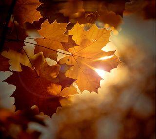 Обои на телефон солнце, солнечный свет, светящиеся, осень, оранжевые, листья, дерево, maple sunshine