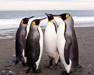 Обои на телефон берег, птицы, пляж, пингвины, море, животные