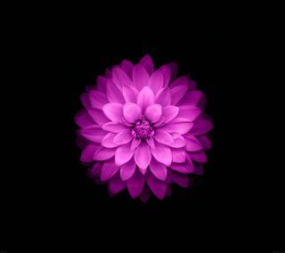 Обои на телефон лотус, черные, цветы, фиолетовые, розовые