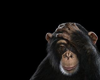 Обои на телефон обезьяны, pensando, mico, ai dio mio