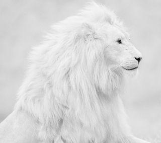 Обои на телефон лев, белые, white lion