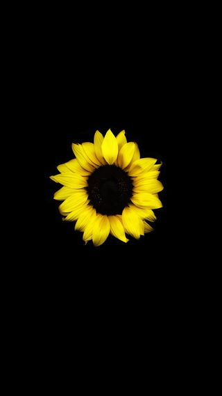 Обои на телефон подсолнухи, черные, цветы