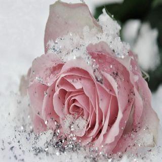 Обои на телефон холодное, розы, розовые, frozen rose