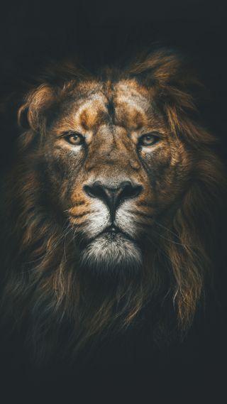 Обои на телефон животные, кошки, лев, король, дикие, хищник