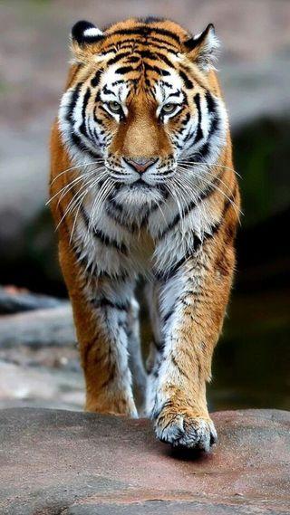 Обои на телефон hd, животные, тигр, дикие, ходячие