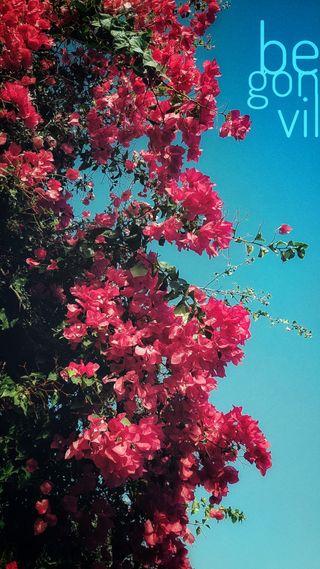Обои на телефон фотографии, цветы, фото, пейзаж, hd, cicek, begonvil
