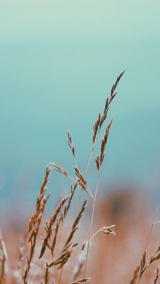 Обои на телефон цветы, трава, пшеница, природа, зерно, боке