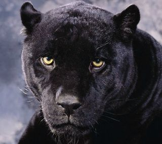 Обои на телефон пантера, черные, кошки, дикие