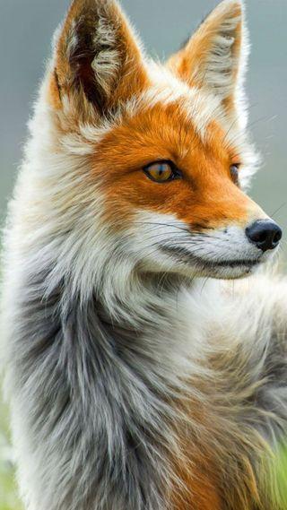 Обои на телефон лиса, природа, лицо, животные, foxes, coyotes