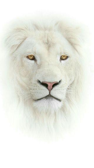 Обои на телефон дикие, лицо, лев, животные, белые, white lion