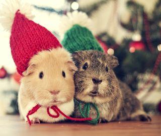 Обои на телефон каникулы, рождество, милые, животные, guinea pigs